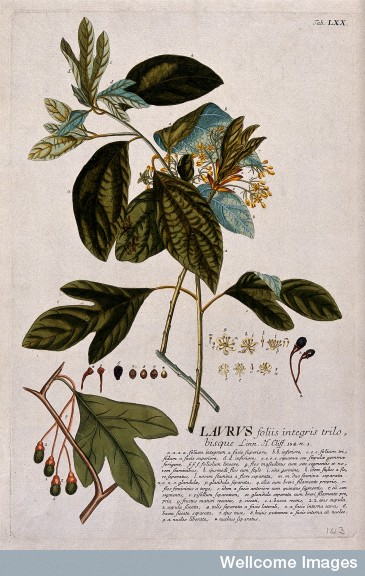 Flowering laurel, by J.J. or J.E.Haid, c.1750, after G.D.Ehret. Courtesy of Wellcome Library, London. Copyrighted work available under Commons Attribution only licence CC BY 4.0